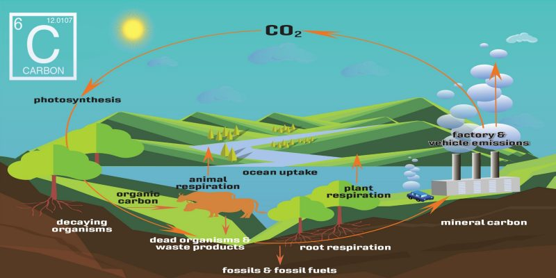 C O 2 is captured by plants from the atmosphere during the photosynthesis process. Organisms capture the carbon from plants. C O 2 is released into the atmosphere by animal respiration as well as factory and vehicle emissions.