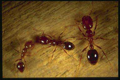 Red imported worker fire ants of various sizes
