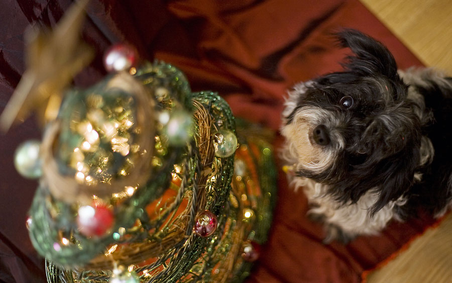 A small dog looks up at a decorated tree.