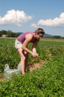 Herbs and produce harvested from the Dining Services Garden at Kentland Farm will be served at the special event dinner at D2 Tuesday, September 14.