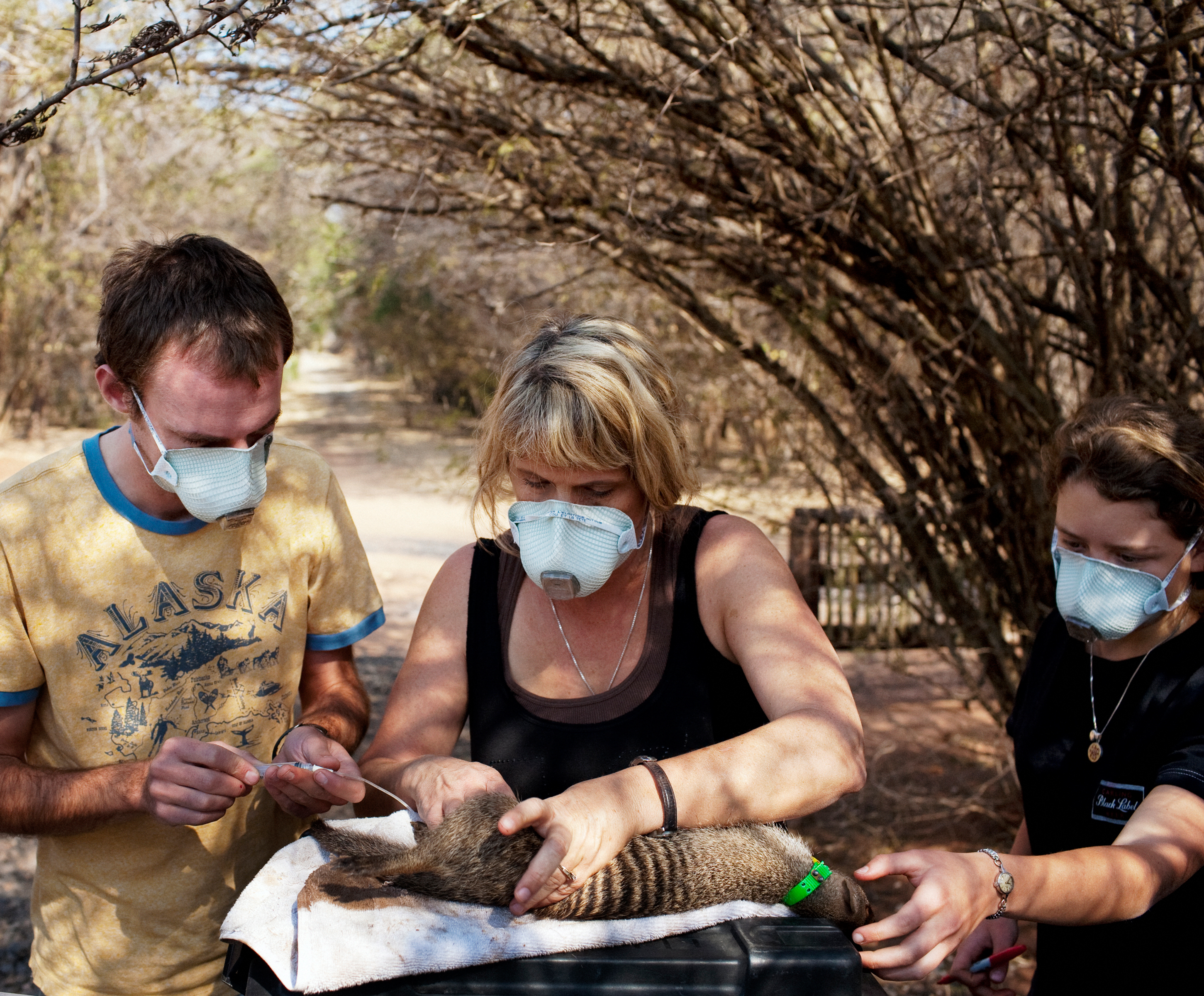 Kathleen Alexander and two students take samples from a sedated banded mongoose.