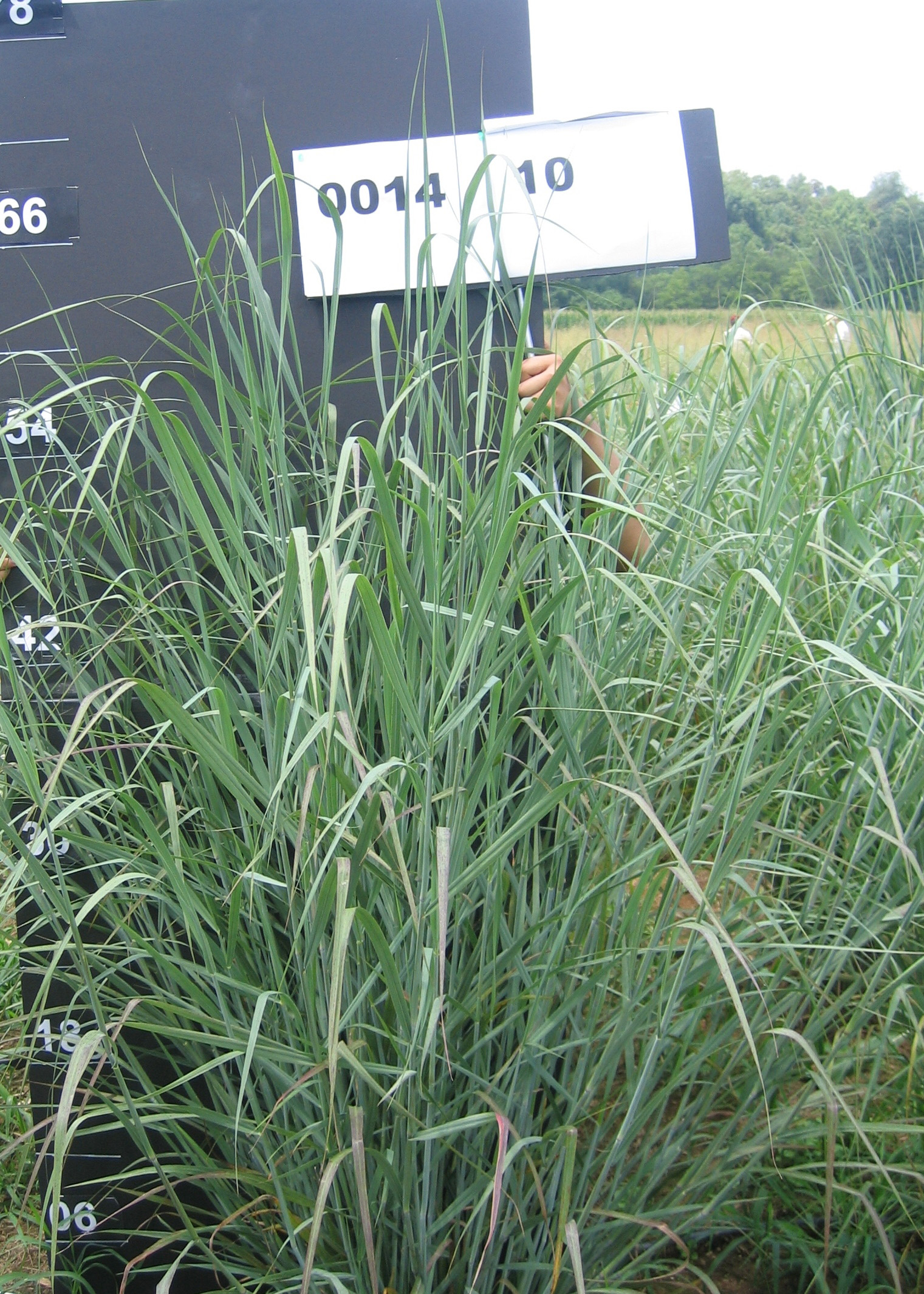 switchgrass research plot