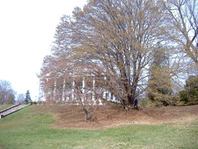 This champion common hornbeam sits in front of Rosemont Manor in Berryville.