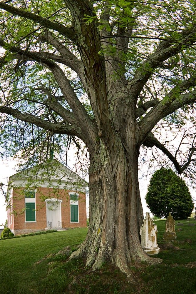 This 121-foot champion honeylocust stands in front of the Fincastle United Methodist Church. (Image courtesy of Robert Llewellyn)