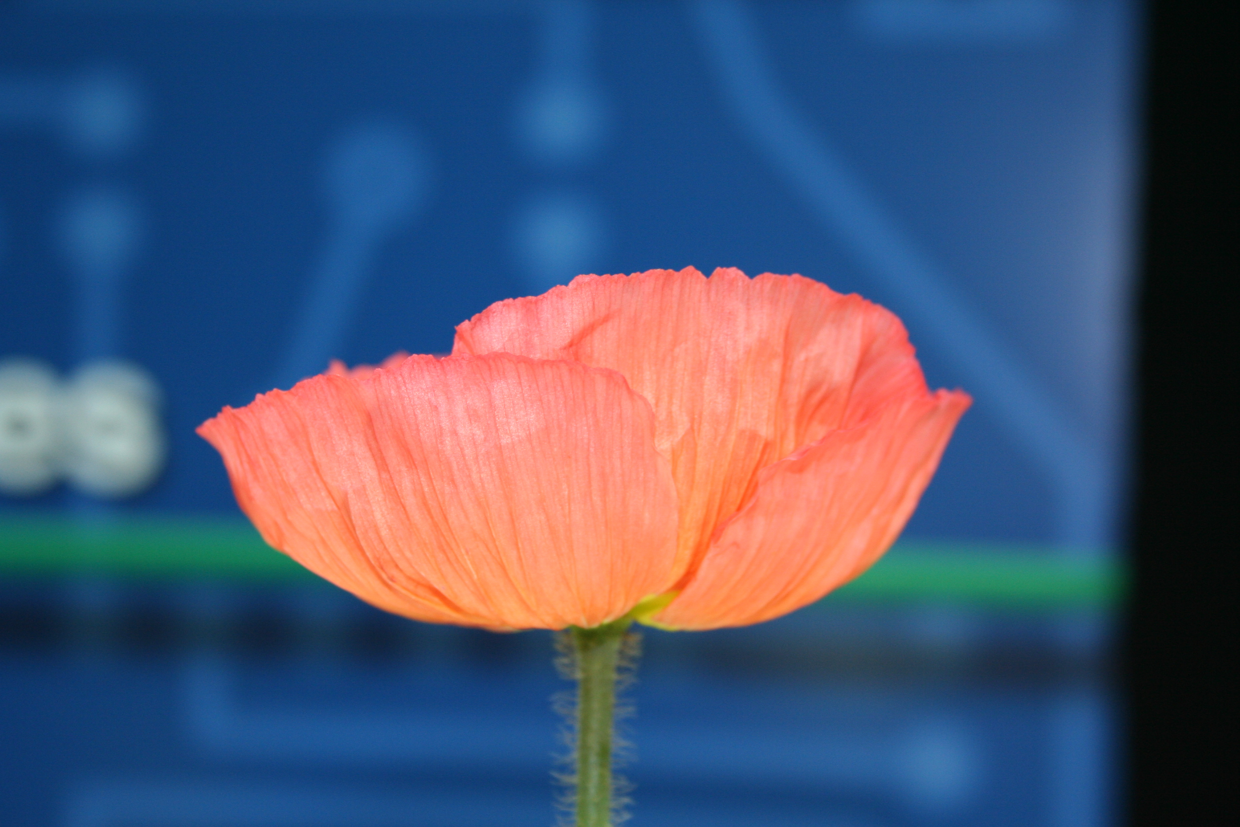 The Institute for Advanced Learning and Research, and Virginia Tech scientists developed a new plant breeding method that helped save the Icelandic Temprtress poppy.