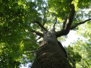 Stadium Woods is home to over 50 ancient oaks.