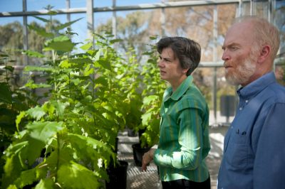 Virginia Tech researchers Eric Beers, professor of horticulture and Amy Brunner, associate professor of forest research and environmental conservation working with poplar trees in the greenhouse.