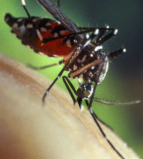 Photo Credit: CDC/James Gathawy. The Asian Tiger mosquito (Aedes albopictus), originated in tropical and sub-tropical regions of Asia, but can now be found across the globe.