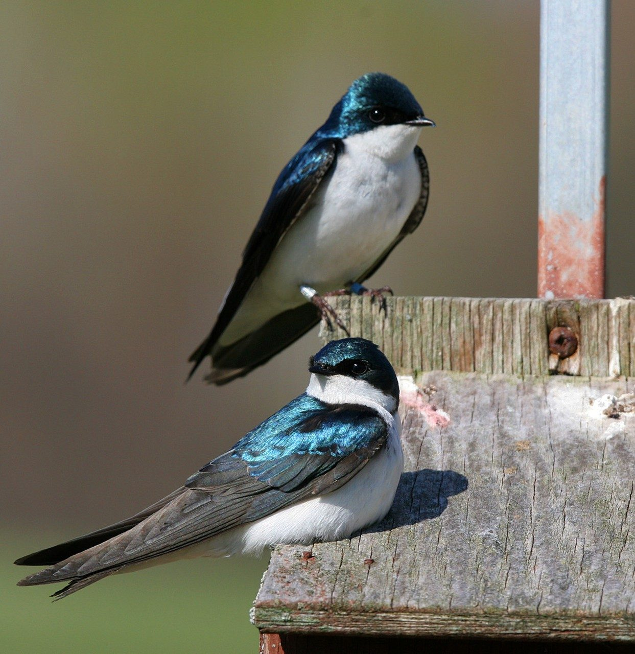 Tree swallows. Photo courtesy of P-G Bentz.