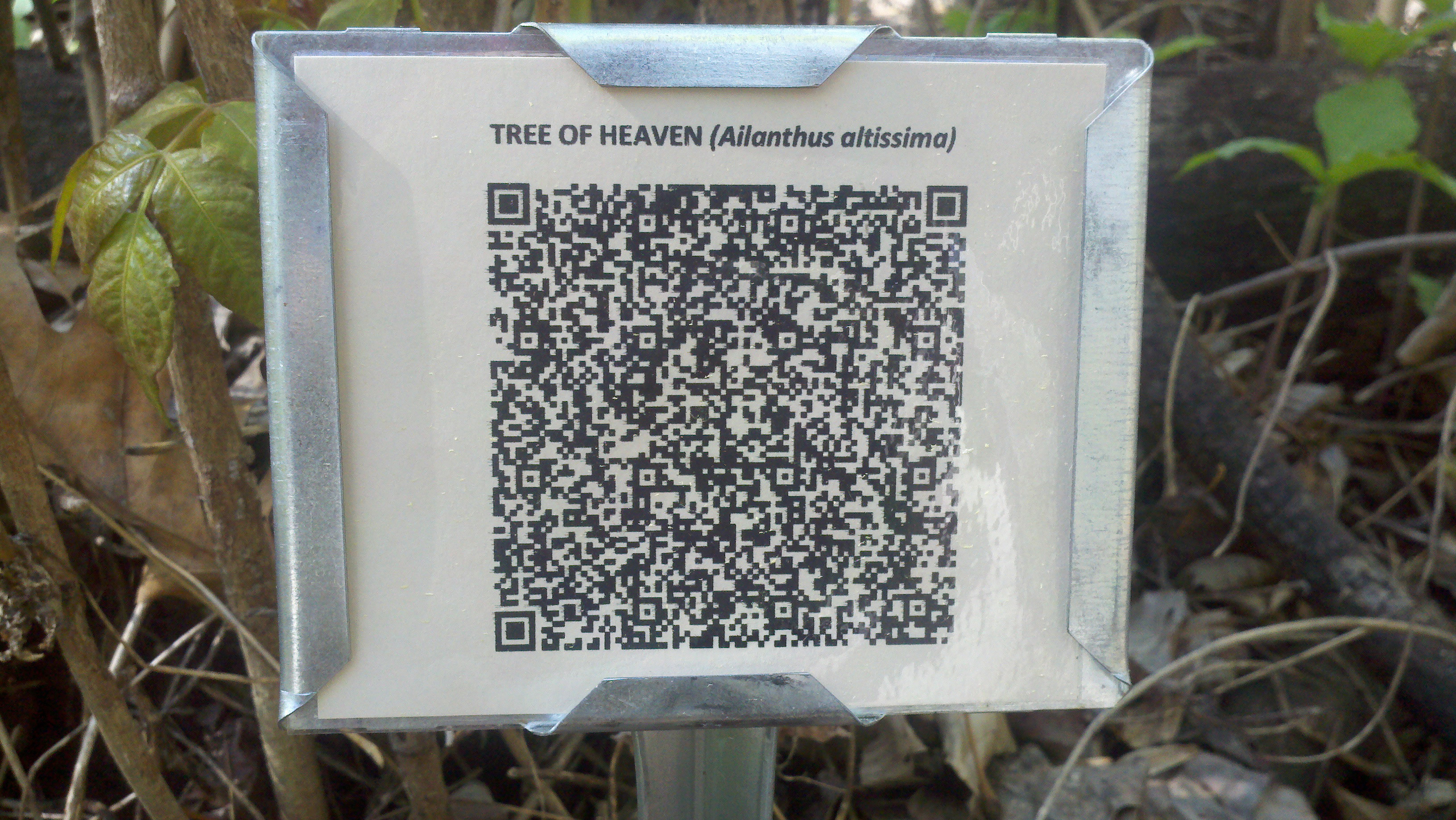 QR code sign for Tree of Heaven