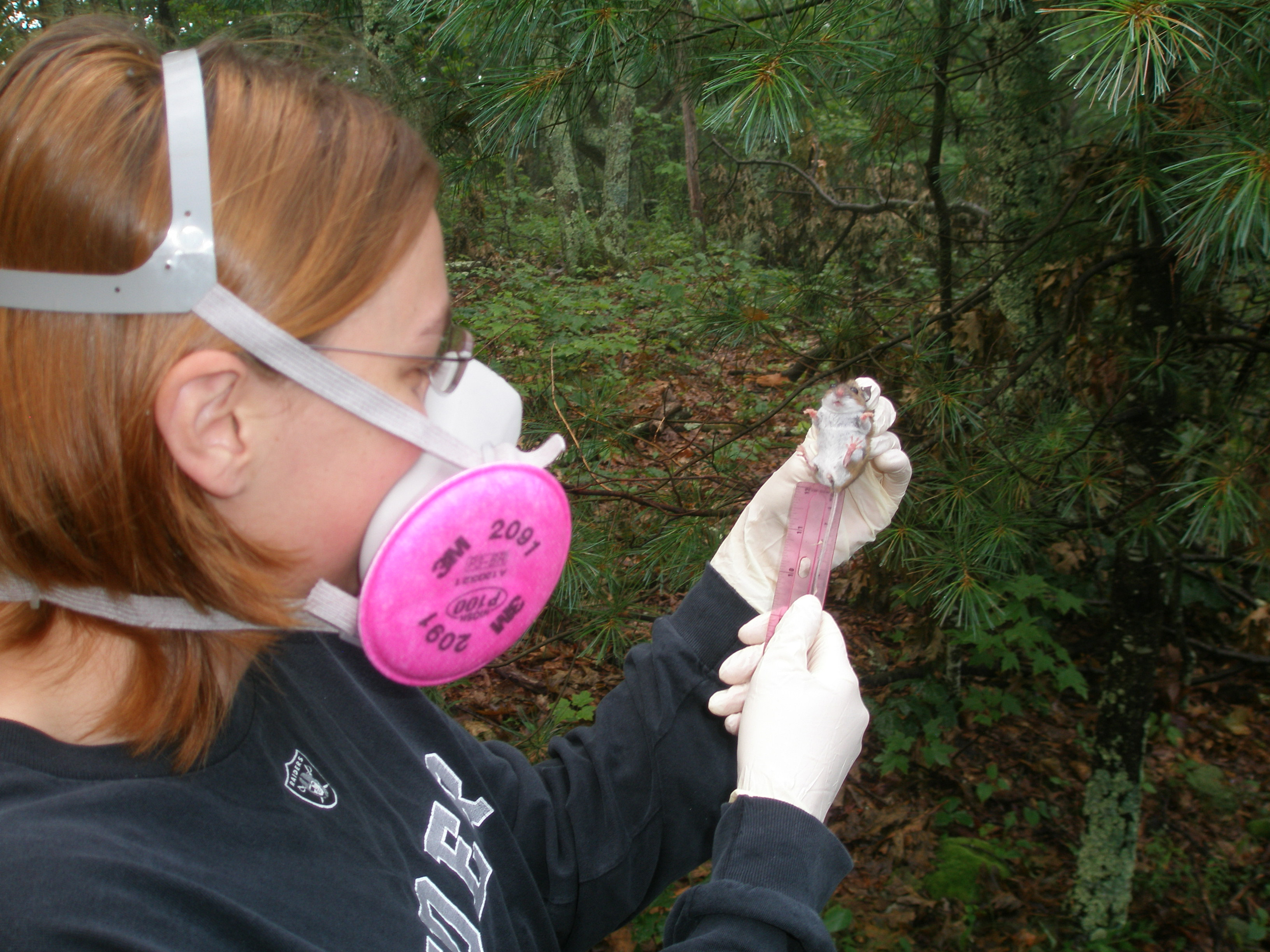 A woman wearing protective respiratory gear holds a mouse and measures the length of its tail in a wooded setting.