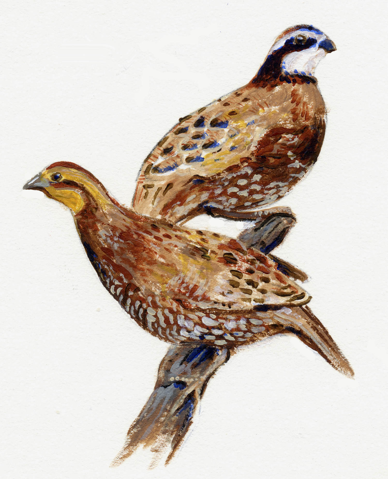 Quail illustration shows two painted birds
