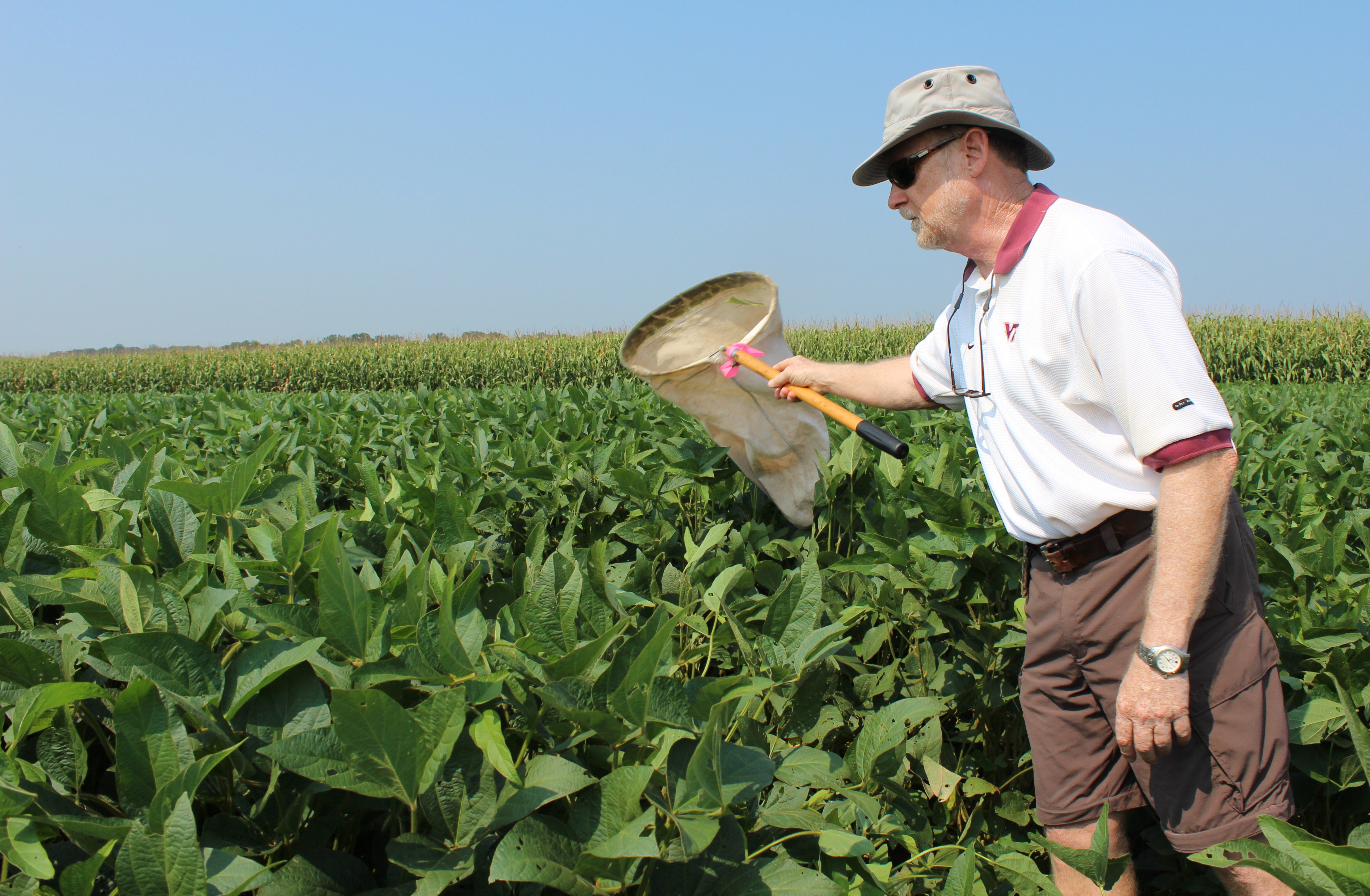 Ames Herbert, a professor of entomology at Virginia Tech, sweeps a soy bean field for brown marmorated stink bugs. A team of researchers is sampling crops across the state to see how far the invasive pest is spreading.
