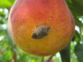 Virginia Tech researchers are trying to find the best way to manage the brown marmorated stink bug in tree fruit such a peaches. The pests' appetites are as voracious as it is varied. As much as 20 percent of the vegetable crops in Northern Virginia were lost to stink bugs in 2010.