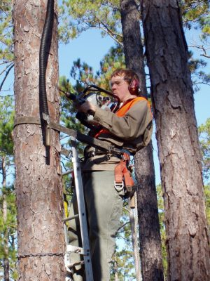 Kevin Rose, field coordinator with the Virginia Tech red cockaded woodpecker research team, drills a provision cavity in a living pine tree. It can take the birds years to create a cavity whereas the team can do it in 45 minutes.
