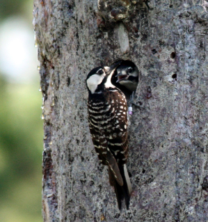 A red cockaded woodpecker at its nesting cavity. Note the two bands on the bird's right leg. Walters and his team use a number of different colored tags to track the birds.