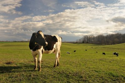 "The Dairy Science herd will provide local milk for the ""Virginia Tech Milk"" program."