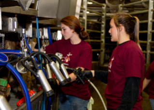Two Dairy Science students harvest milk from Virginia Tech cows.