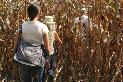 Three people walking into a tall, dense corn field.