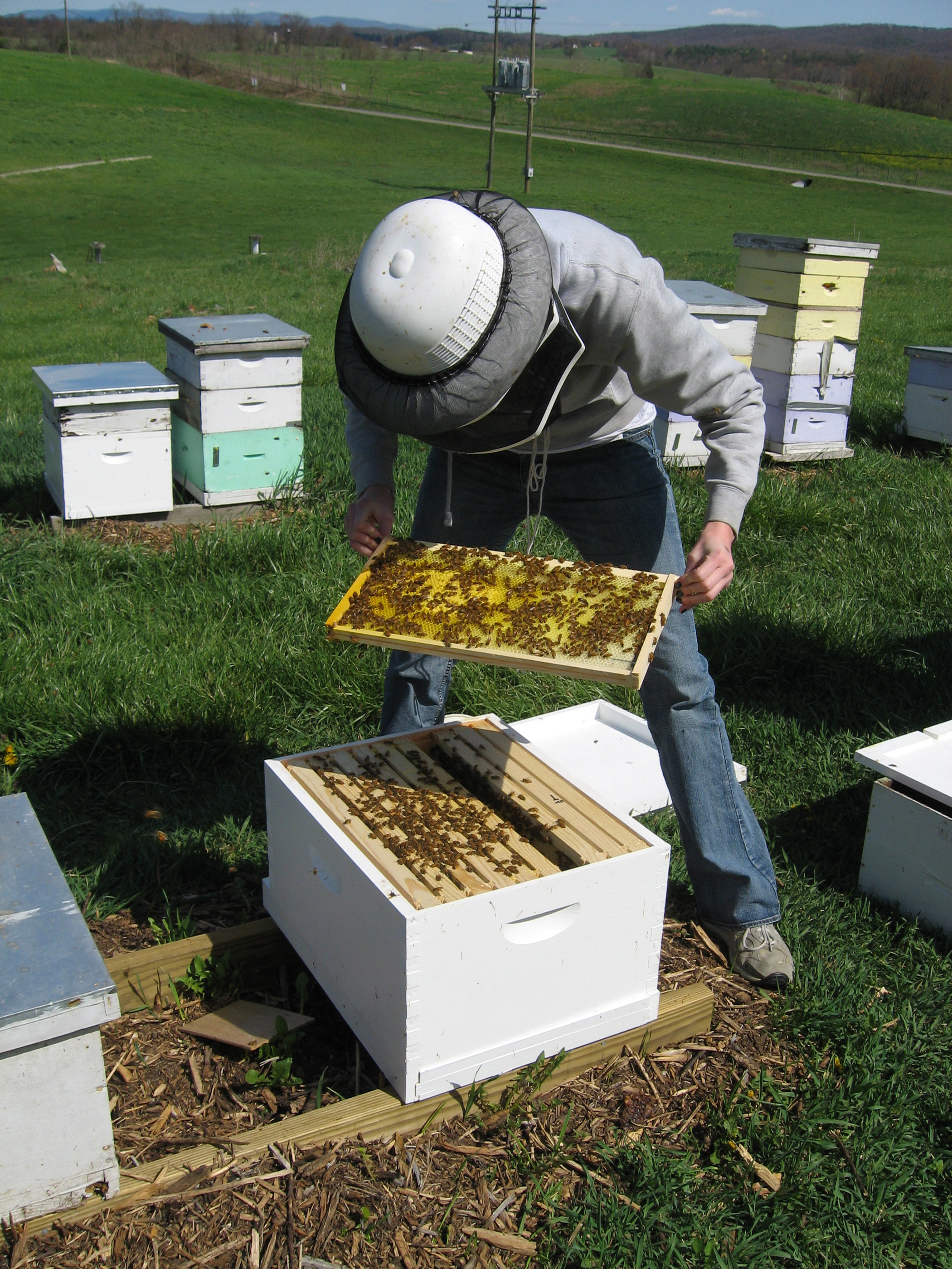 Beekeeper conducting routine hive inspection