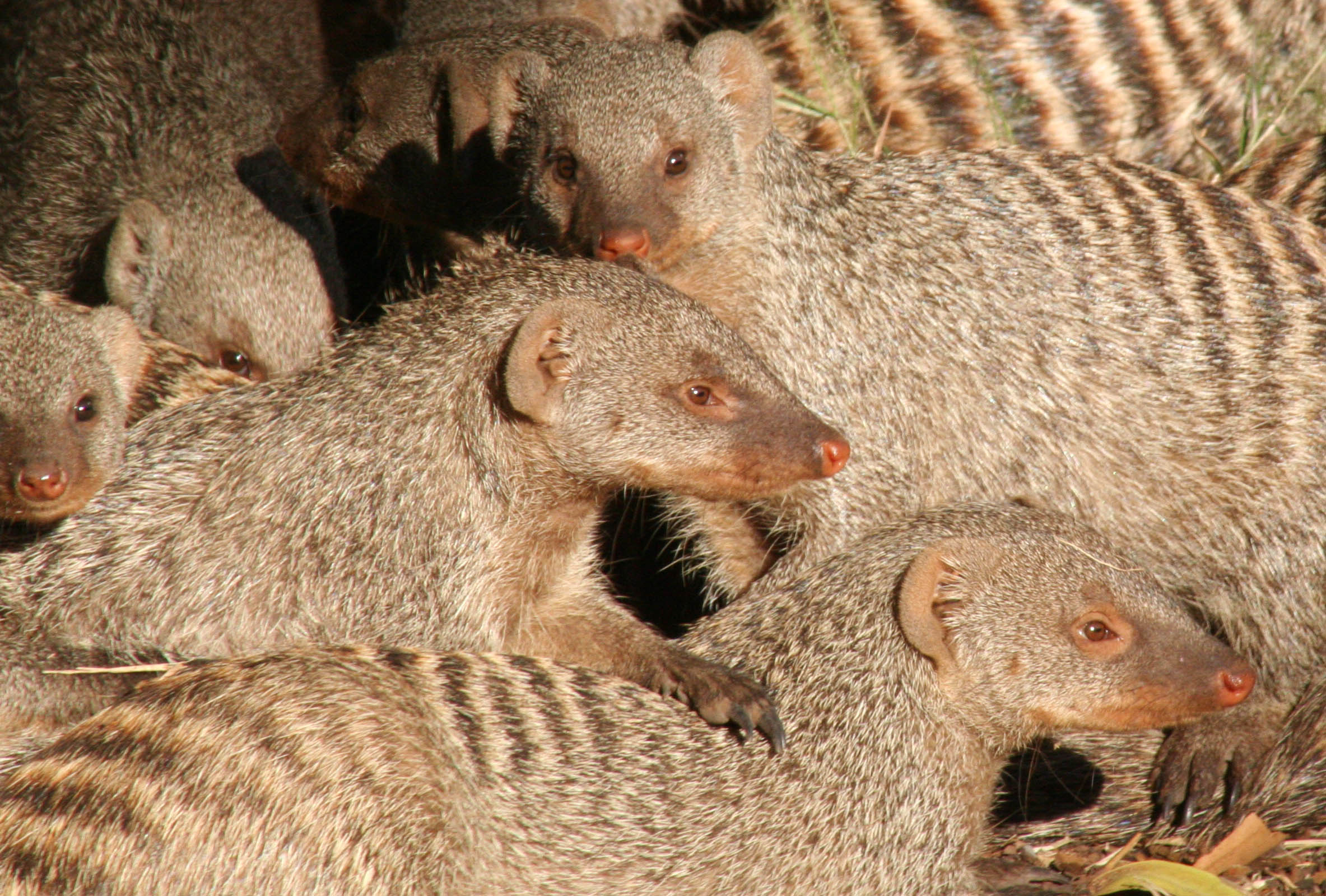 A number of banded mongoose