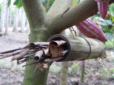 Cocoa pod borer trap in Indonesia