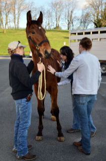 A student takes the vital signs of one of 15 stallions that participated in the veterinary college's second annual Equine Gelding Clinic on April 13.