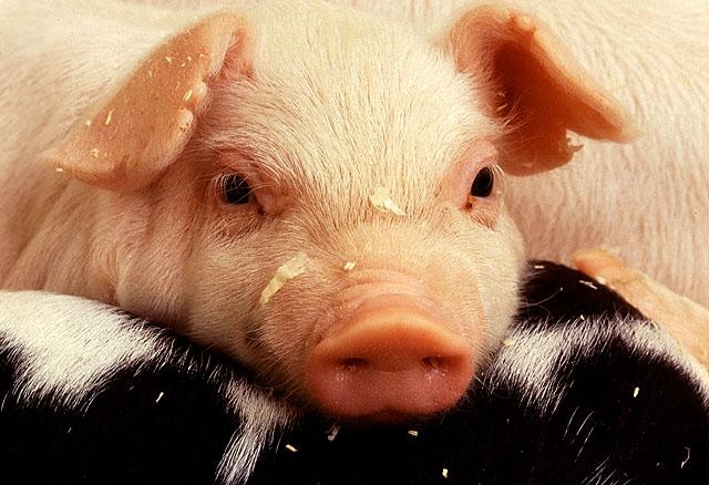 The sudden emergence of porcine epidemic diarrhea virus, which belongs to the coronavirus family, has caused economic and public health concerns in the United States.