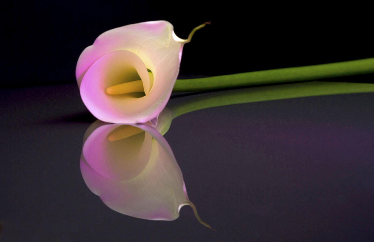 Calla lily on glass
