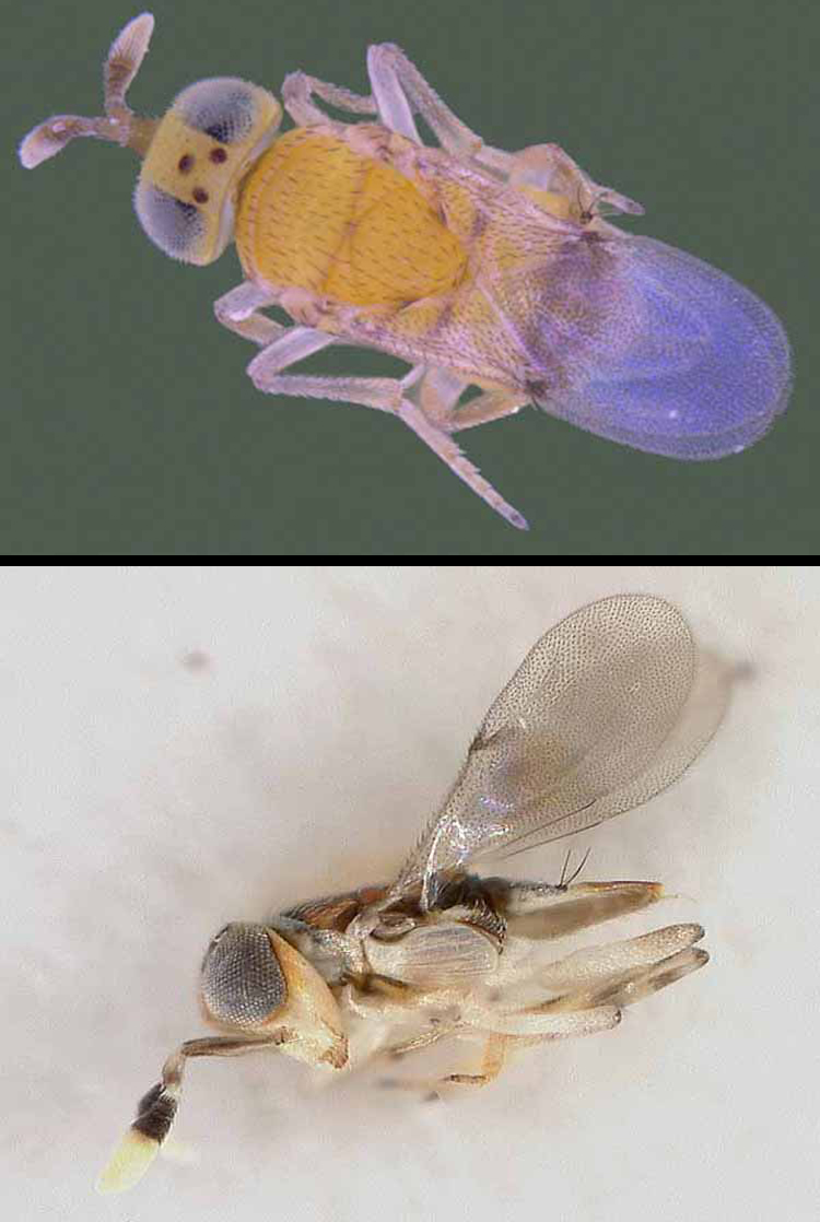 Close-ups of two wasps that were used to combat the pest in India