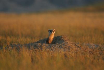 A black-footed ferret peaks out of a burrow.