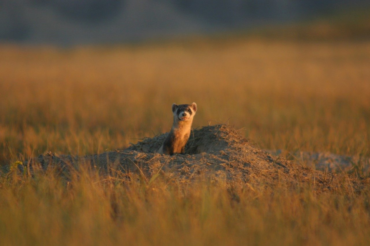 The black-footed ferret remains on the endangered list despite efforts to help restore populations across the Western U.S.