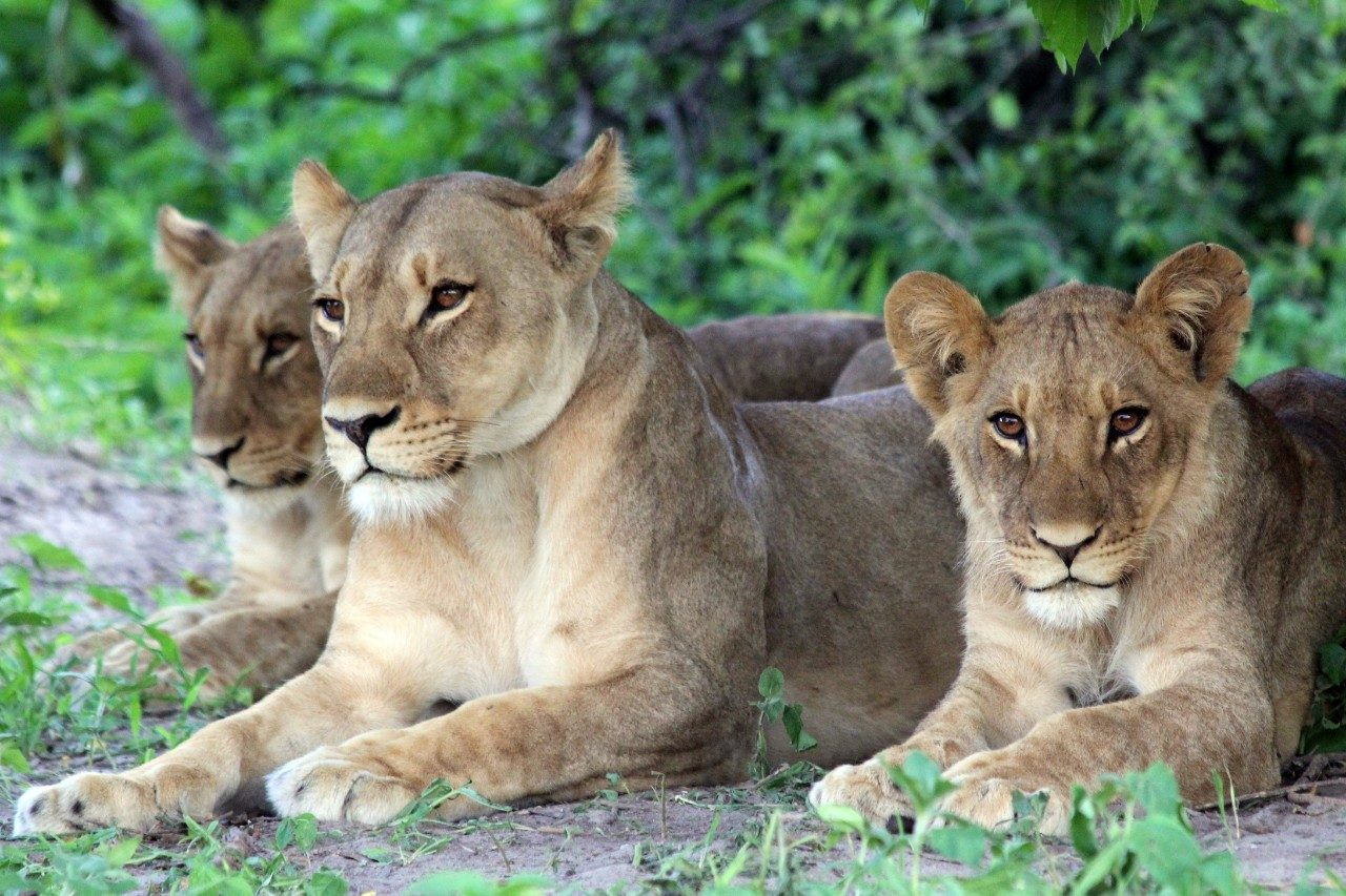 For social carnivores like the lion, group-living is essential for survival but may increase vulnerability to infectious disease, complicating the management of these species.