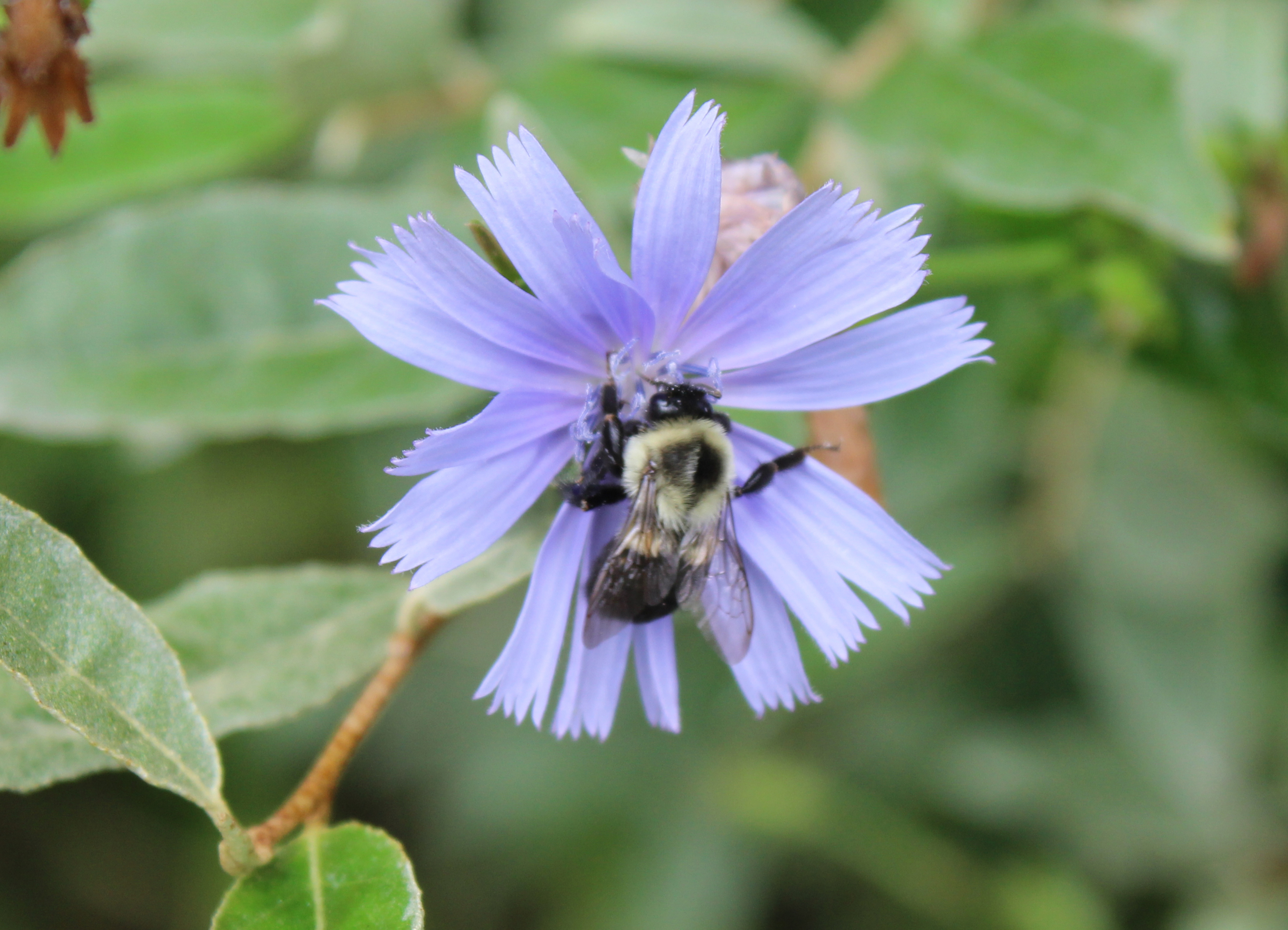 Bumblebee on chicory flower