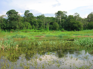 Macrophyte beds, in the foreground, and forests, in the background, are flooded during high water levels. These highly productive habitats drive aquatic biological production in the Amazon.
