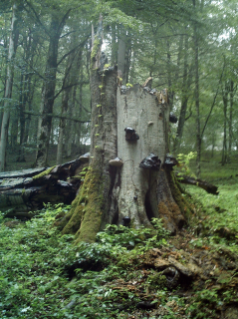 Snags are one form of dead wood researchers recorded. Iranian beech (shown here) is the same genus but a different species than American beech. Image courtesy of Kiomars Sefidi.