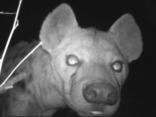 Lindsey Rich is employing camera trap surveys to estimate the densities and distributions of medium and large carnivores in northern Botswana. Many species, such as this spotted hyena, have shown curiosity about the cameras.