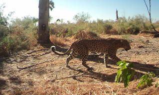 Leopards' unique fur patterns will allow Lindsey Rich to identify individuals, such as this one photographed by one of her motion-sensitive cameras.