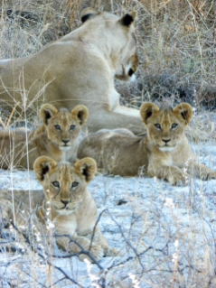 Lions have disappeared from large portions of their historical range in Africa. Lindsey Rich's research will provide information on the densities, distributions, and ecology of multiple carnivore species, including lions.