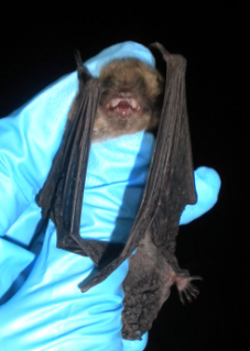 The federally endangered Indiana bat has also been affected by white-nose syndrome.