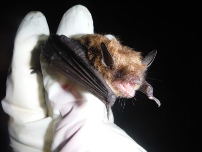 The little brown bat, once among the most numerous mammal species in New England, has been severely impacted by white-nose syndrome.