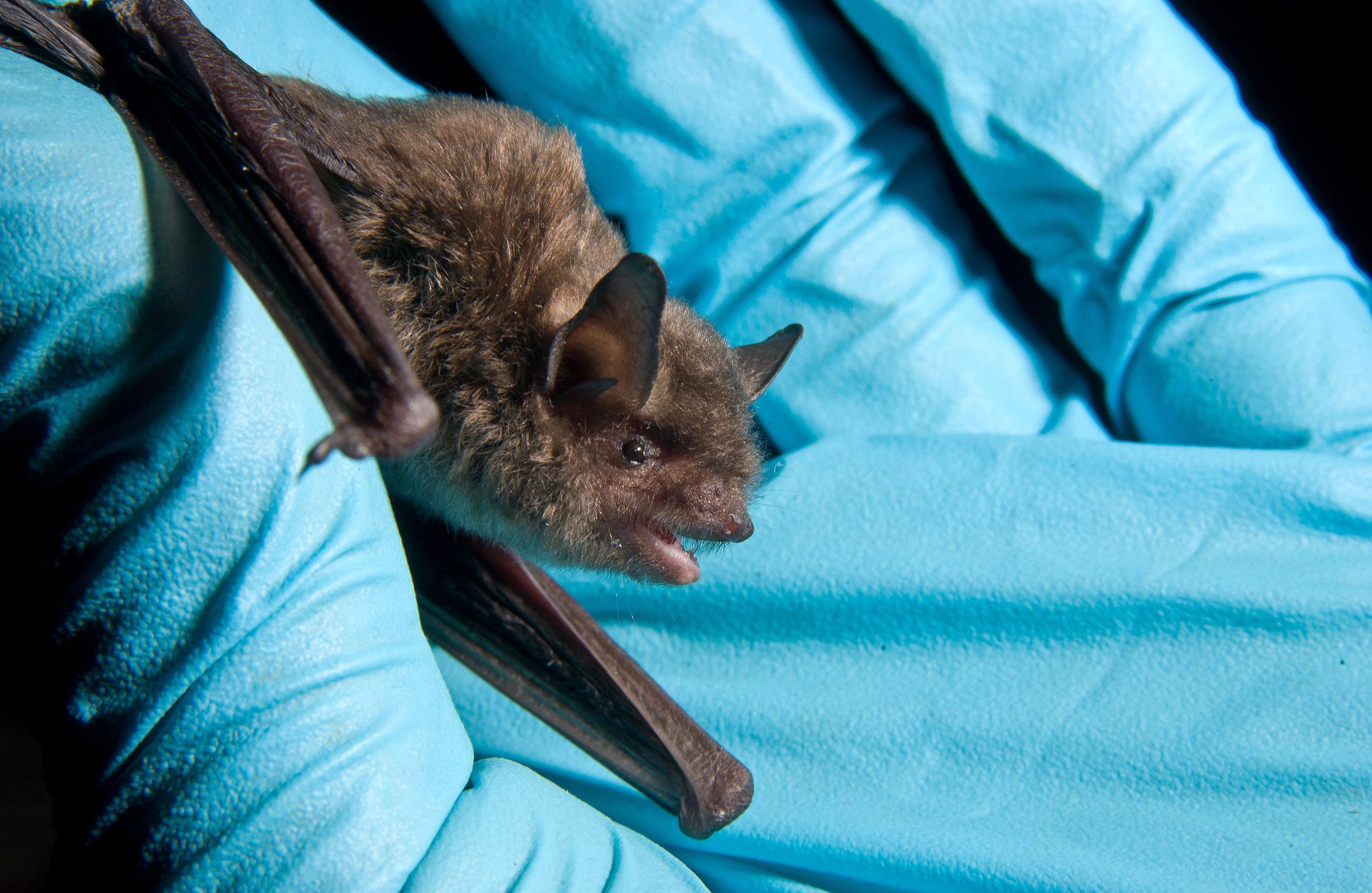 Determining roosting and foraging patterns of the endangered Indiana bat, pictured, will aid habitat management.