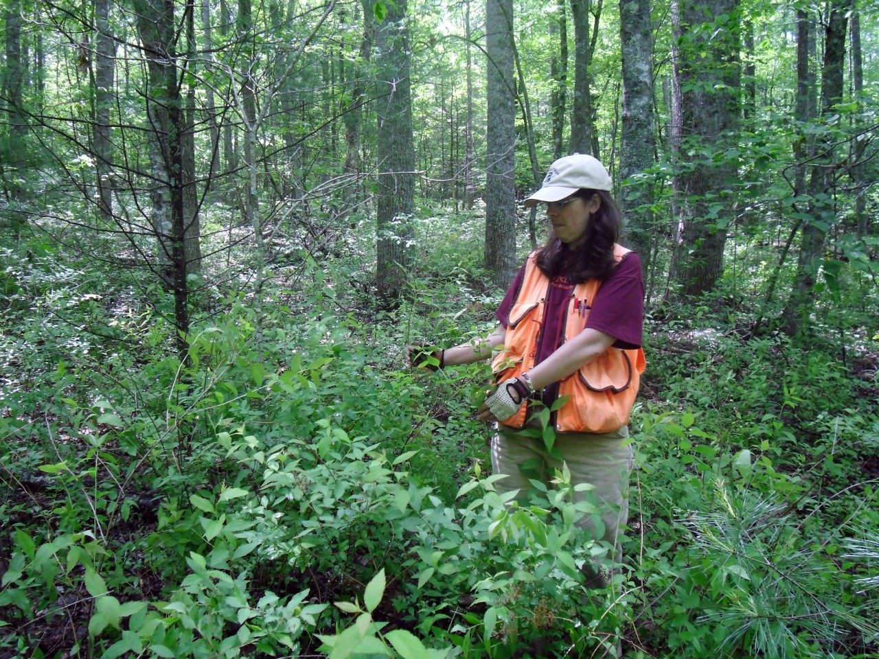 Carolyn Copenheaver measures the size and height of a Japanese spiraea population on Buffalo Mountain.
