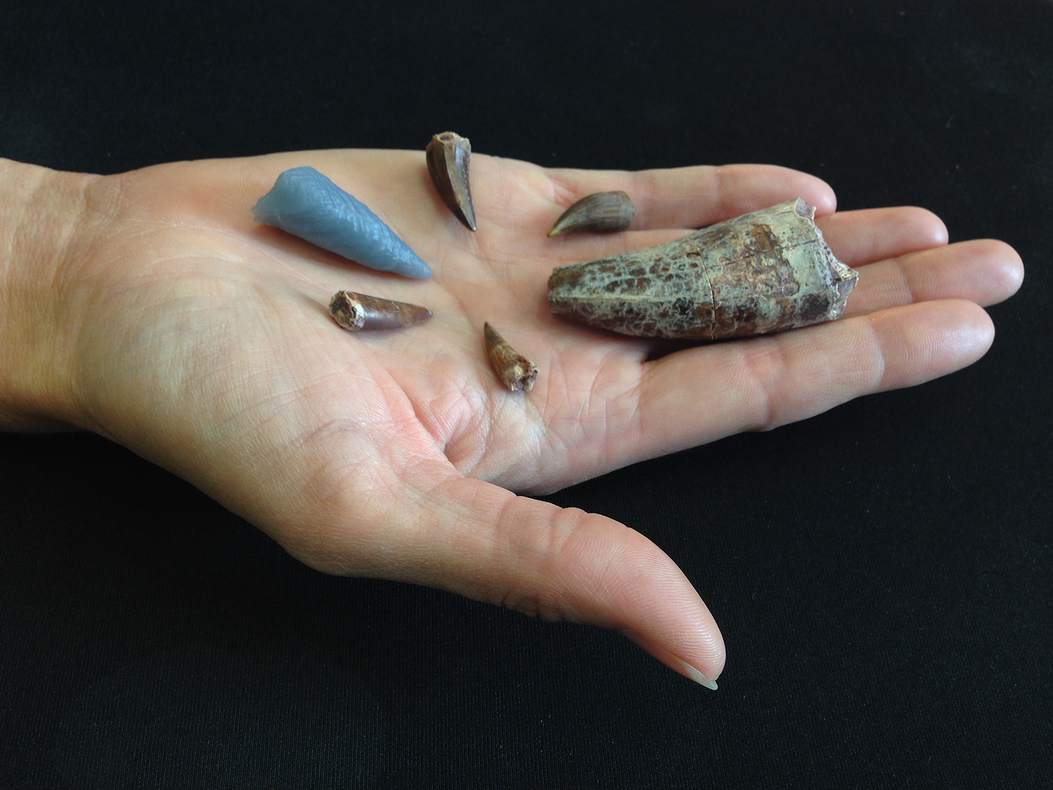 Phytosaur teeth