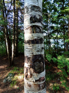 Birch bark is a good fire starter, but removing the bark from trees can kill them. Jeff Marion notes that the bark could come instead from downed trees.