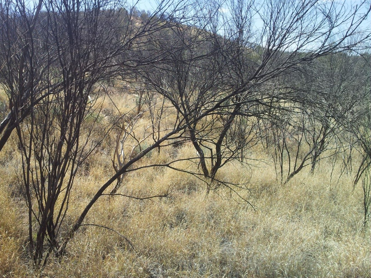 Buffelgrass, an invasive weed in Australia, is also invasive in the southwestern United States. Photo courtesy of Don Driscoll/Australian National University.