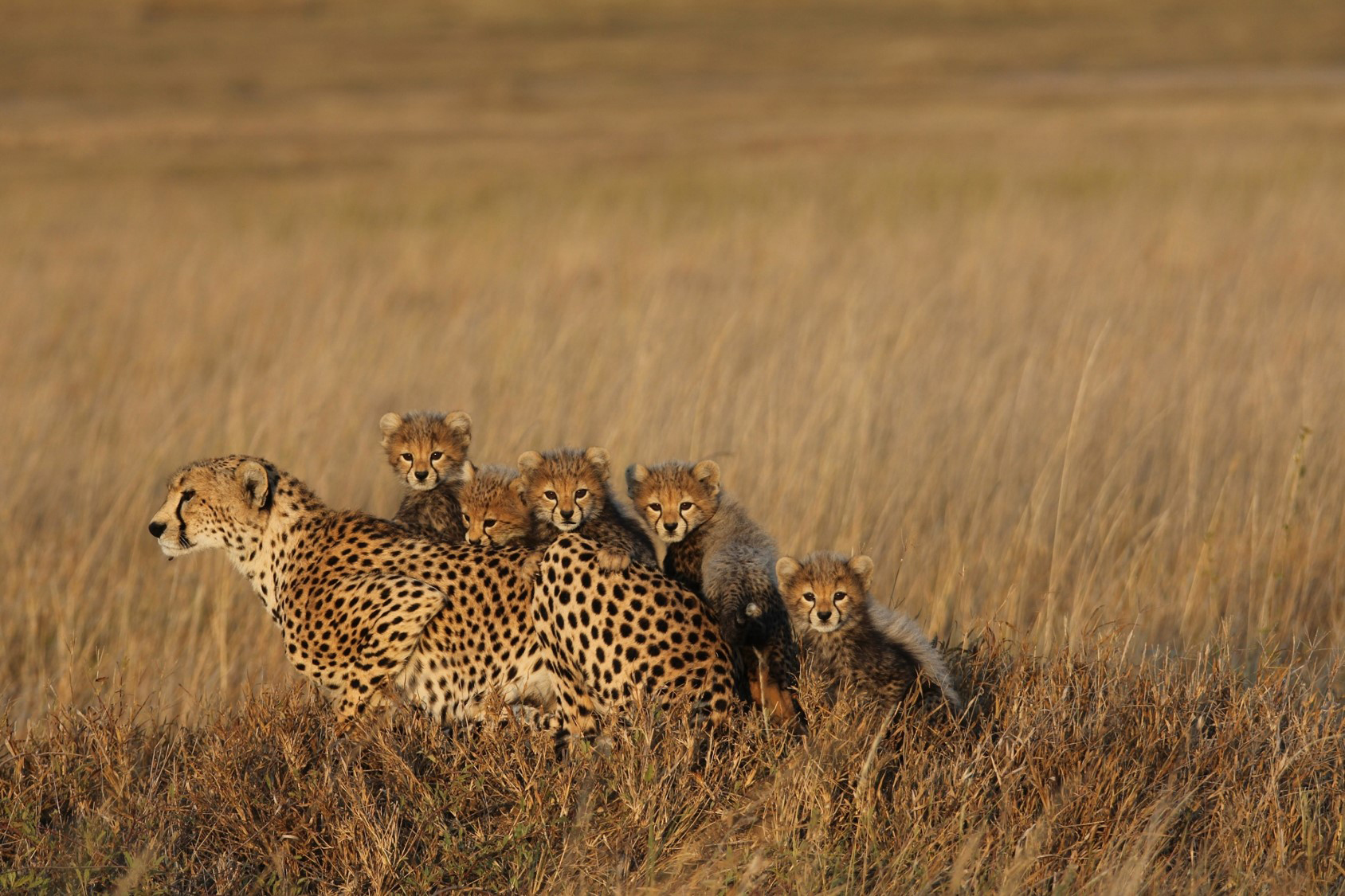 An adult cheetah with five cubs in a grass-covered plain.