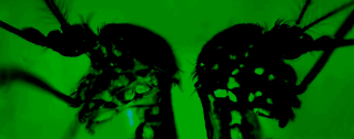 The mosquito at left displays more green florescent protein, an indication that researchers were able to control its response to genetic changes.