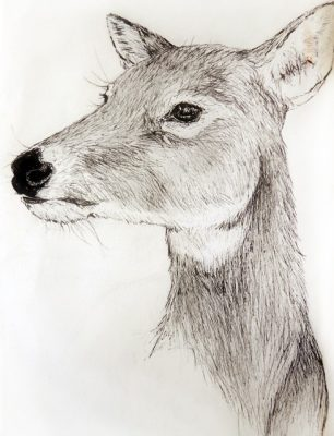 Pen-and-ink sketch of a deer