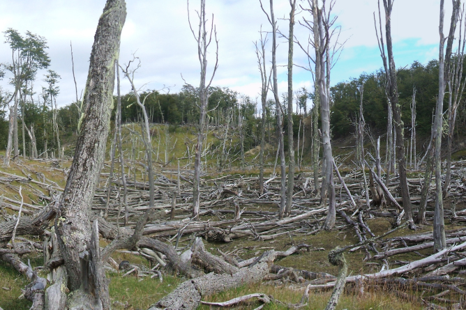 Dead trees and woody debris in a forest clearing